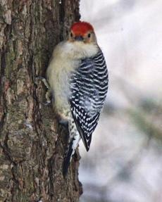 The red-bellied woodpecker, pushing farther north, is one New England species that could benefit from climate change.
